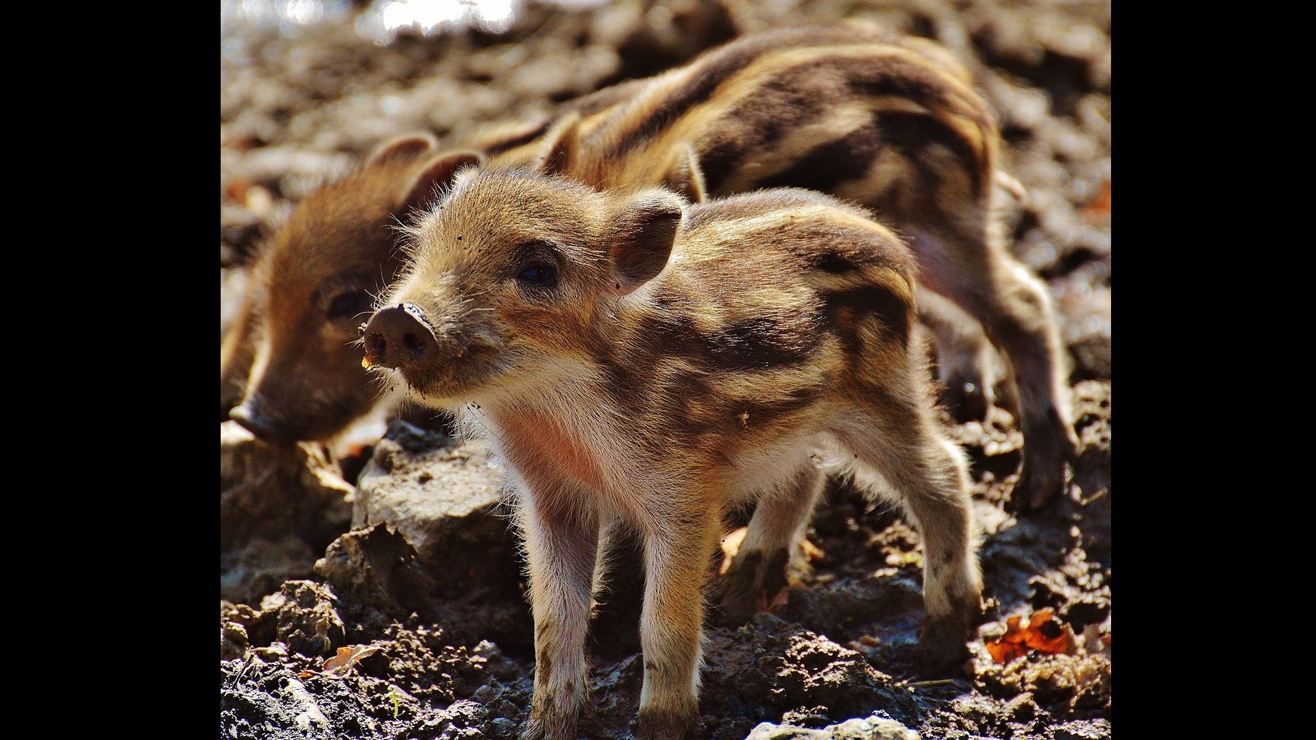 another piglet
