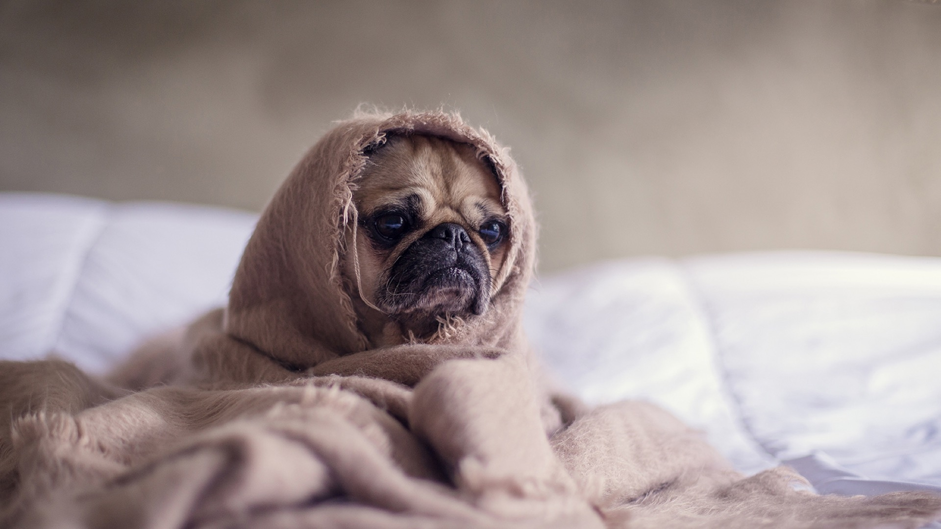 another pug in a blanket