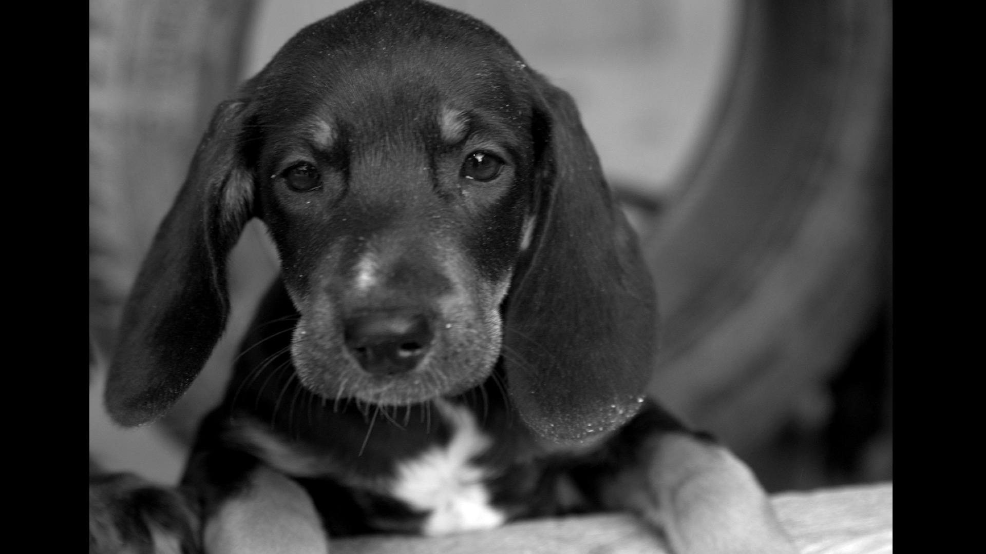 black and white of hound puppy