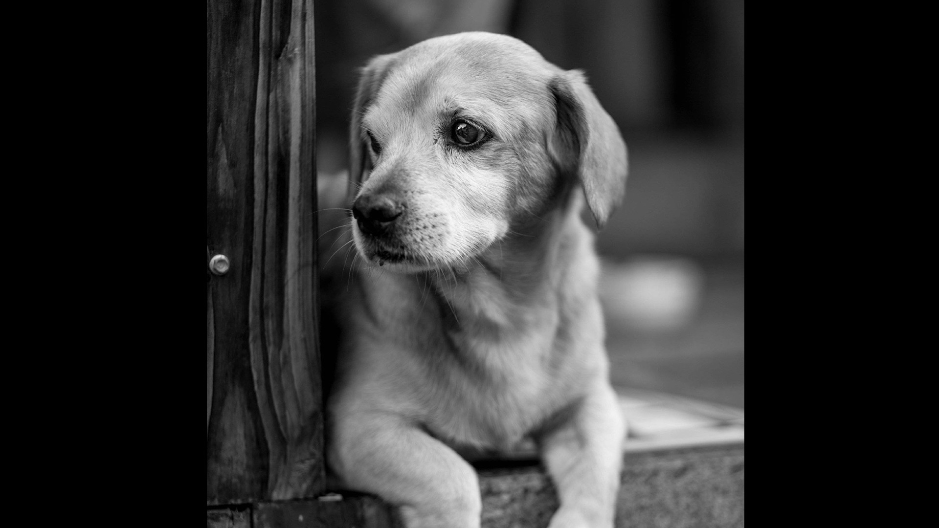 black and white of lab