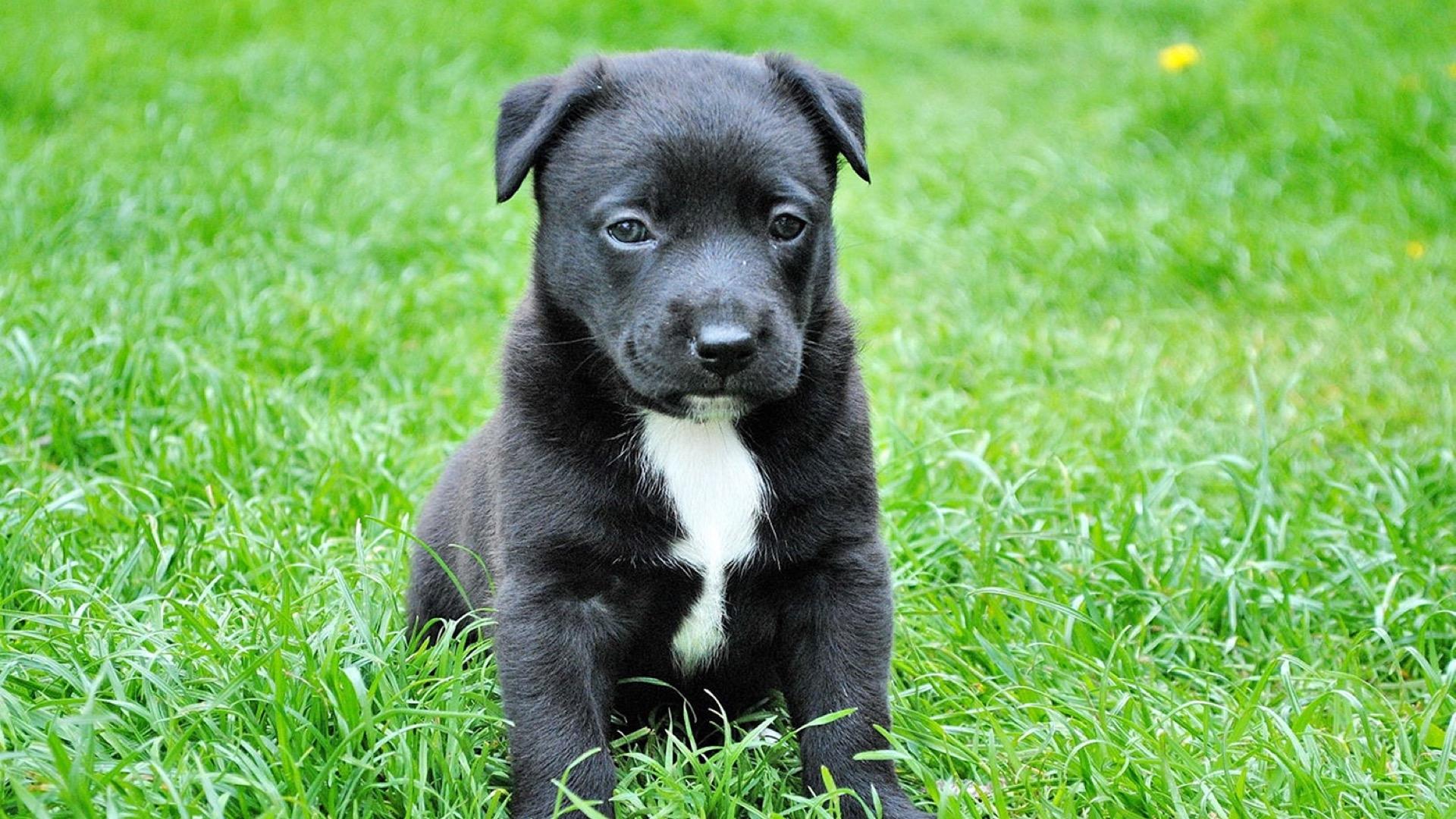 black puppy with white stripe on chest