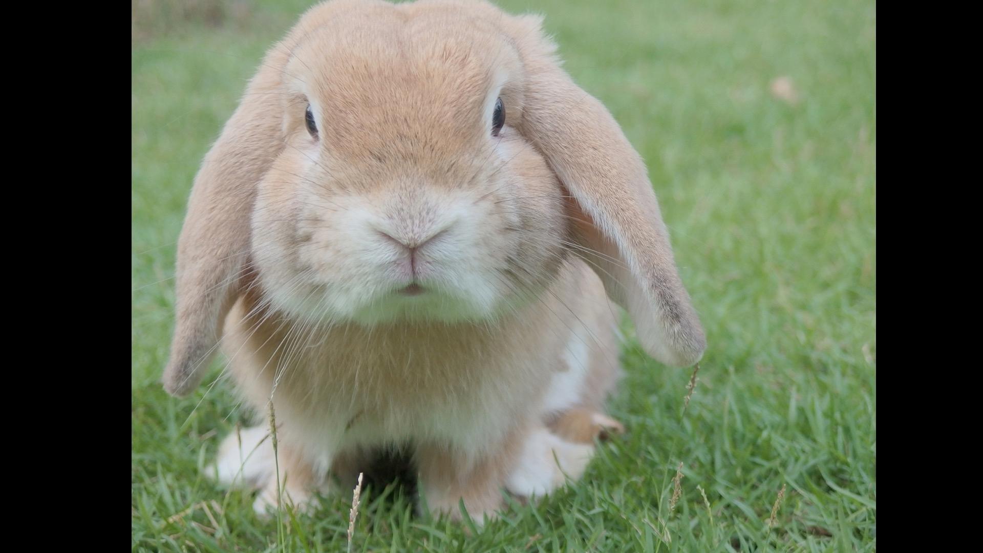 blonde rabbit number 2