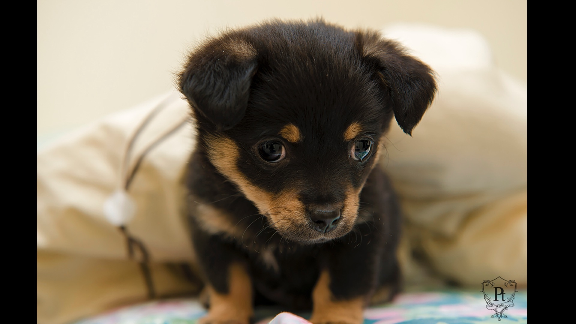 brown and black puppy