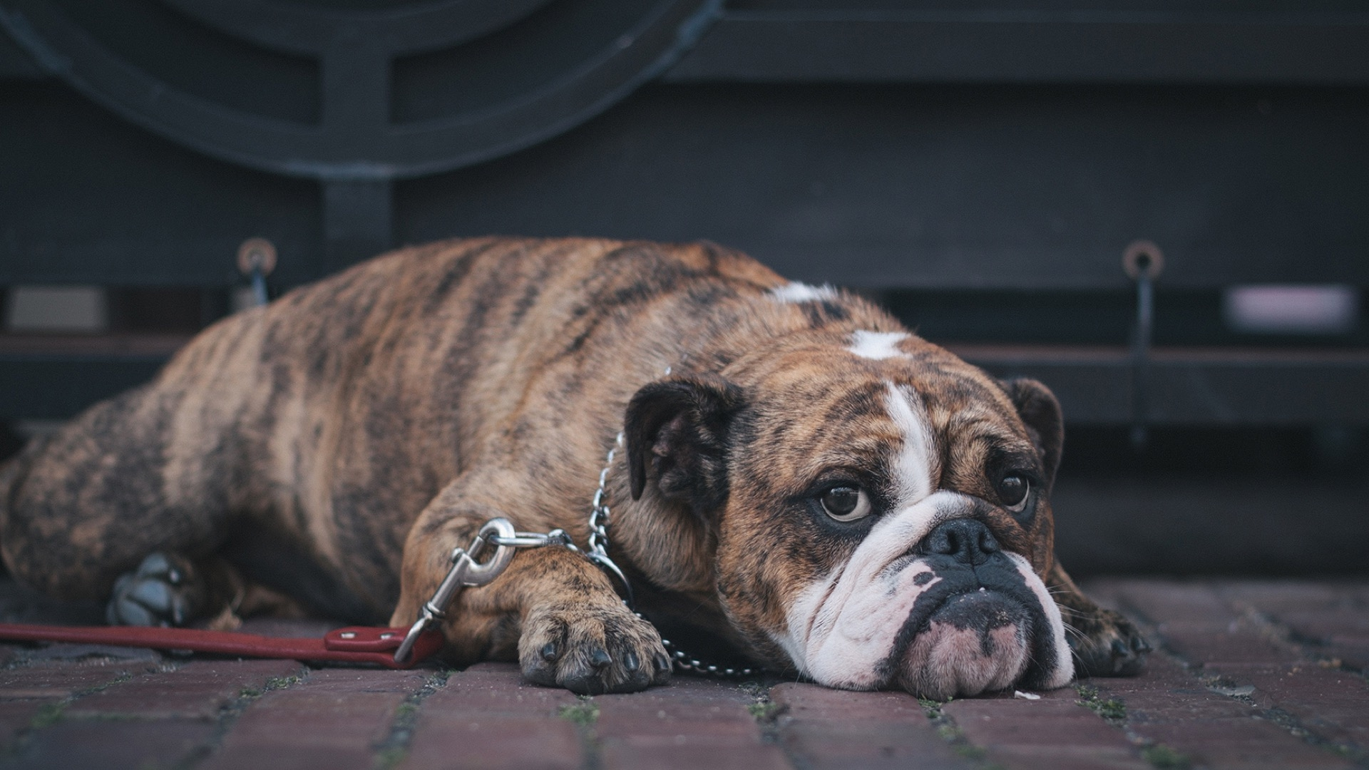 bulldog chained up
