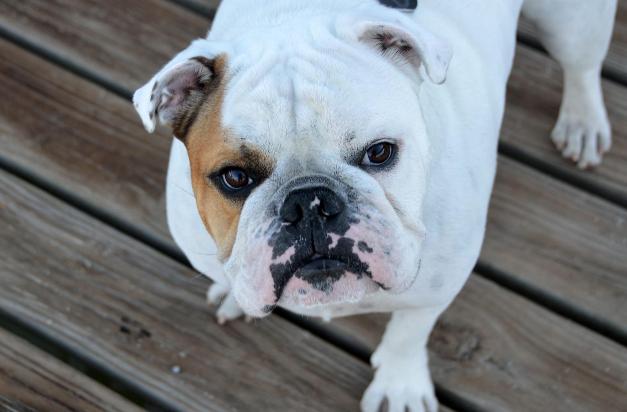 bulldog looking at camera
