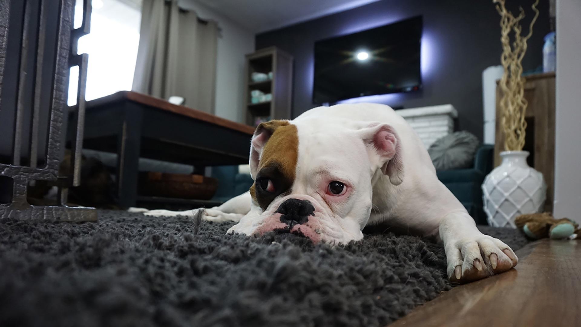bulldog on rug