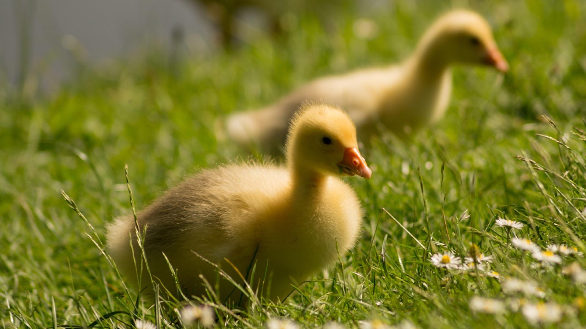ducks in meadow