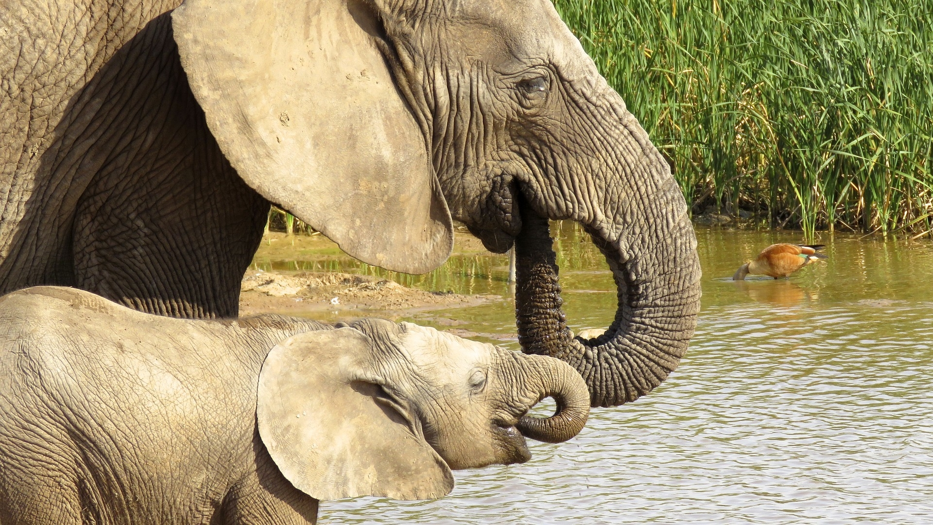 elephant taking a drink of water