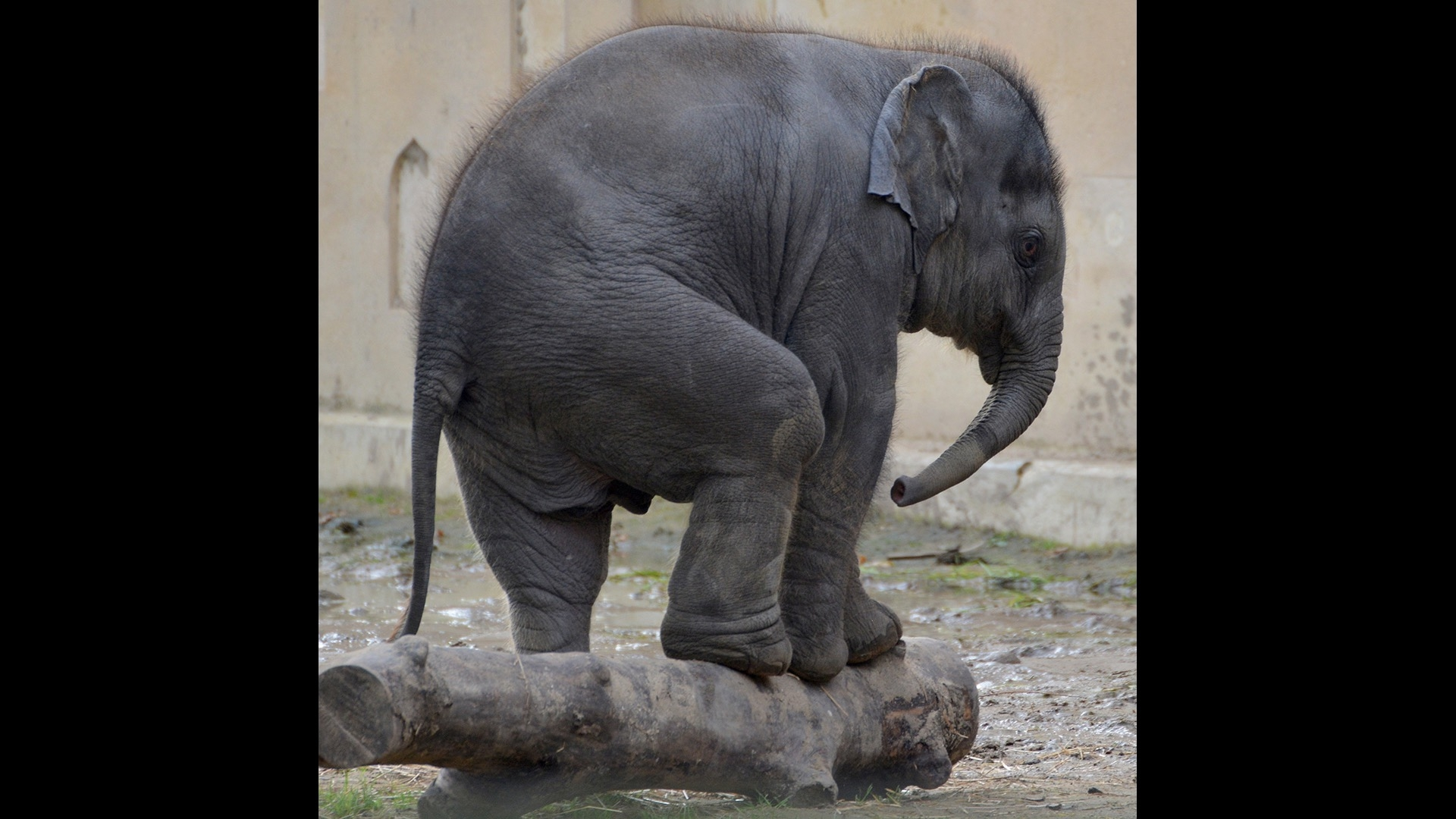 elephant trying to stand on log