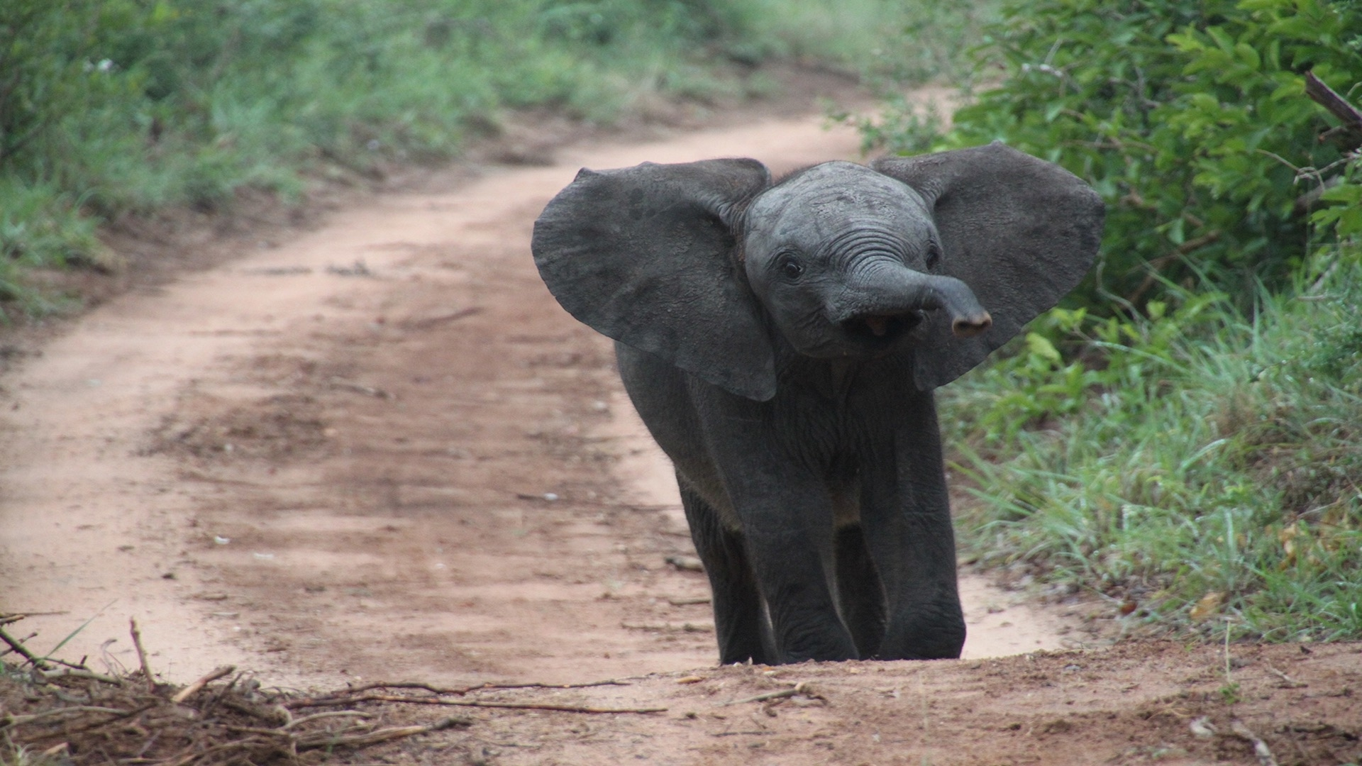 elephant with ears and trunk up