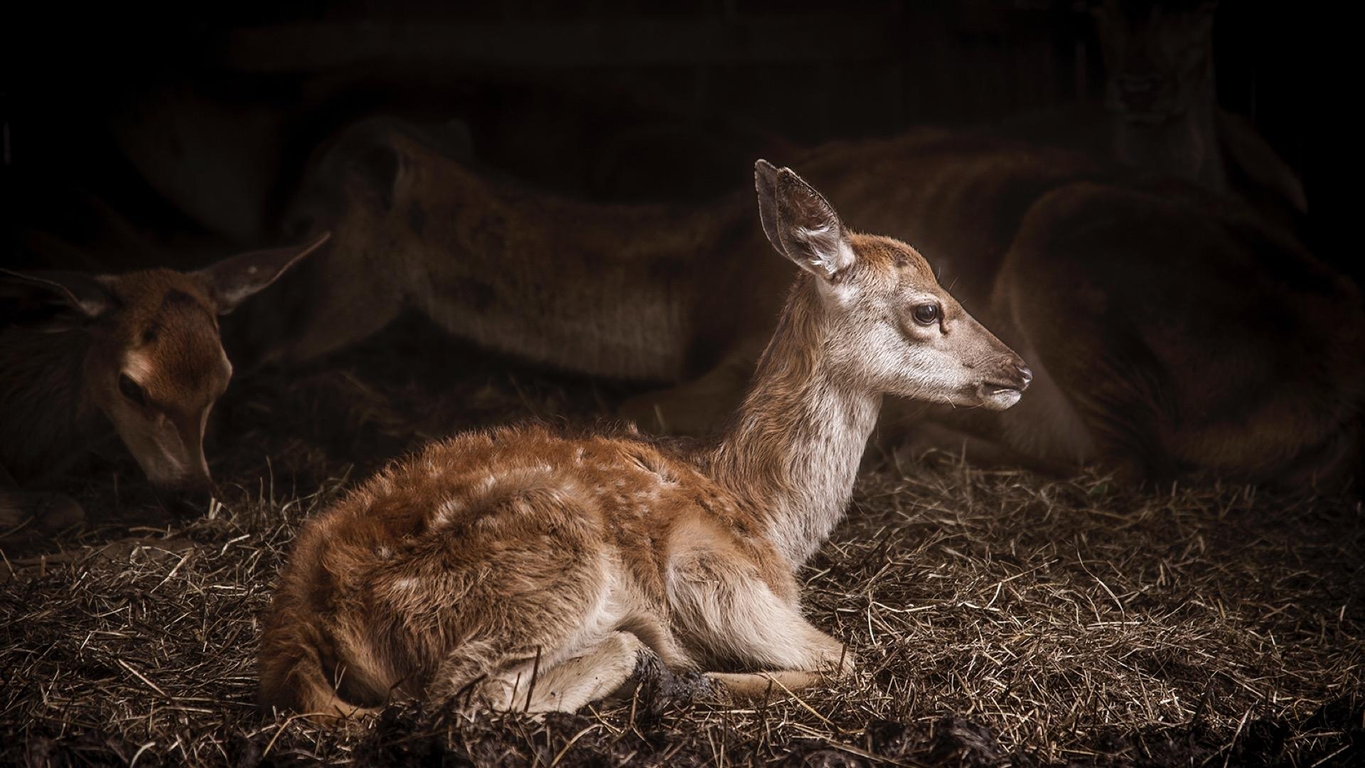 fawn laying down
