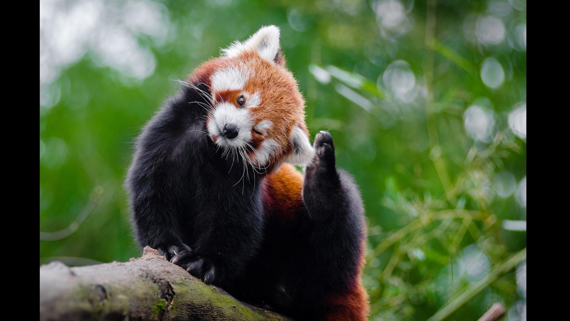fire fox scratching its ear