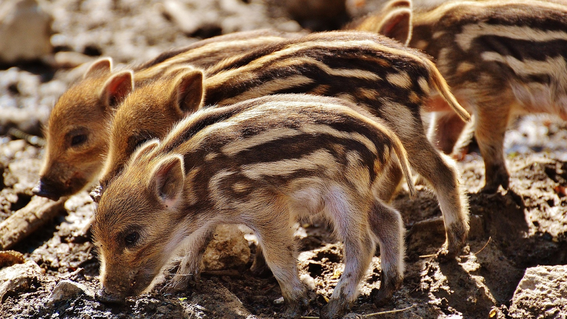 four striped piglets