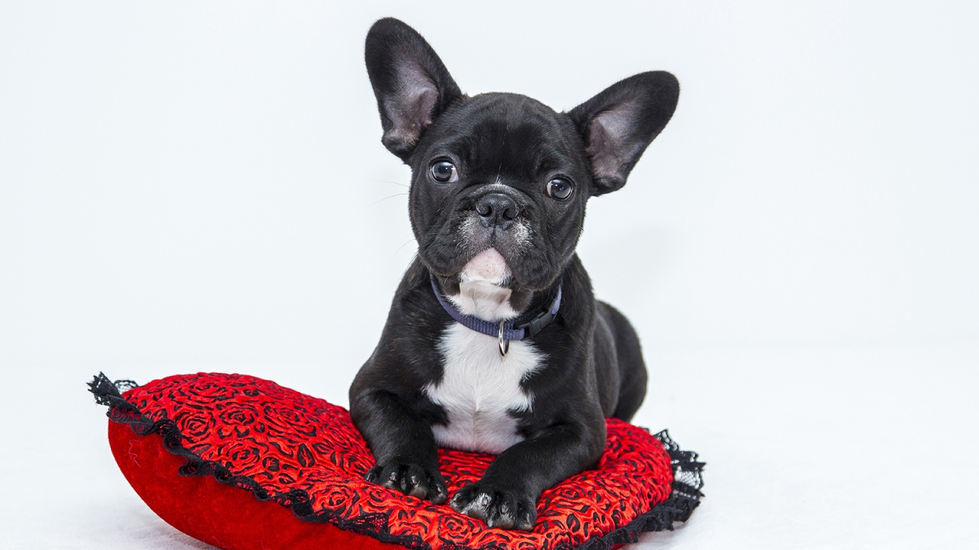 frenchie on red pillow