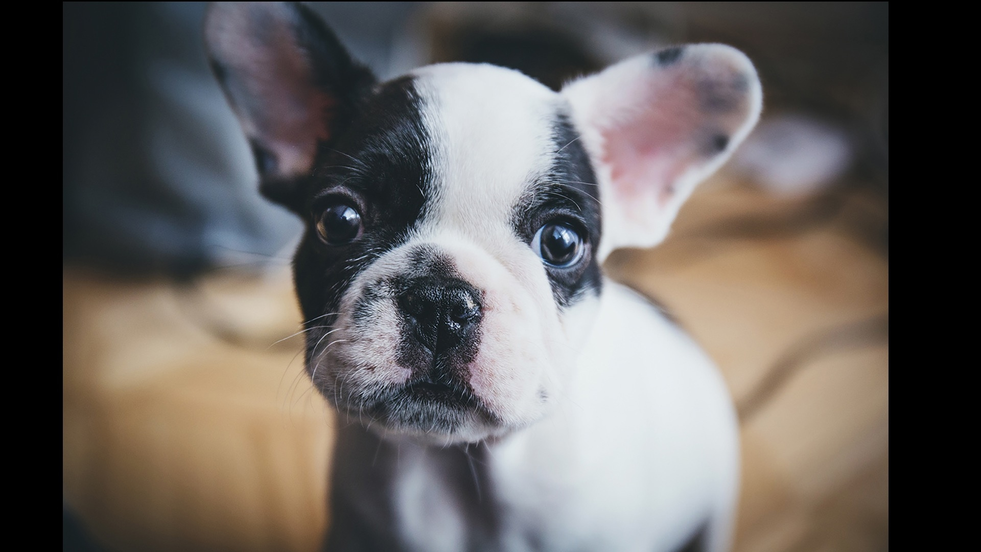 frenchie up close