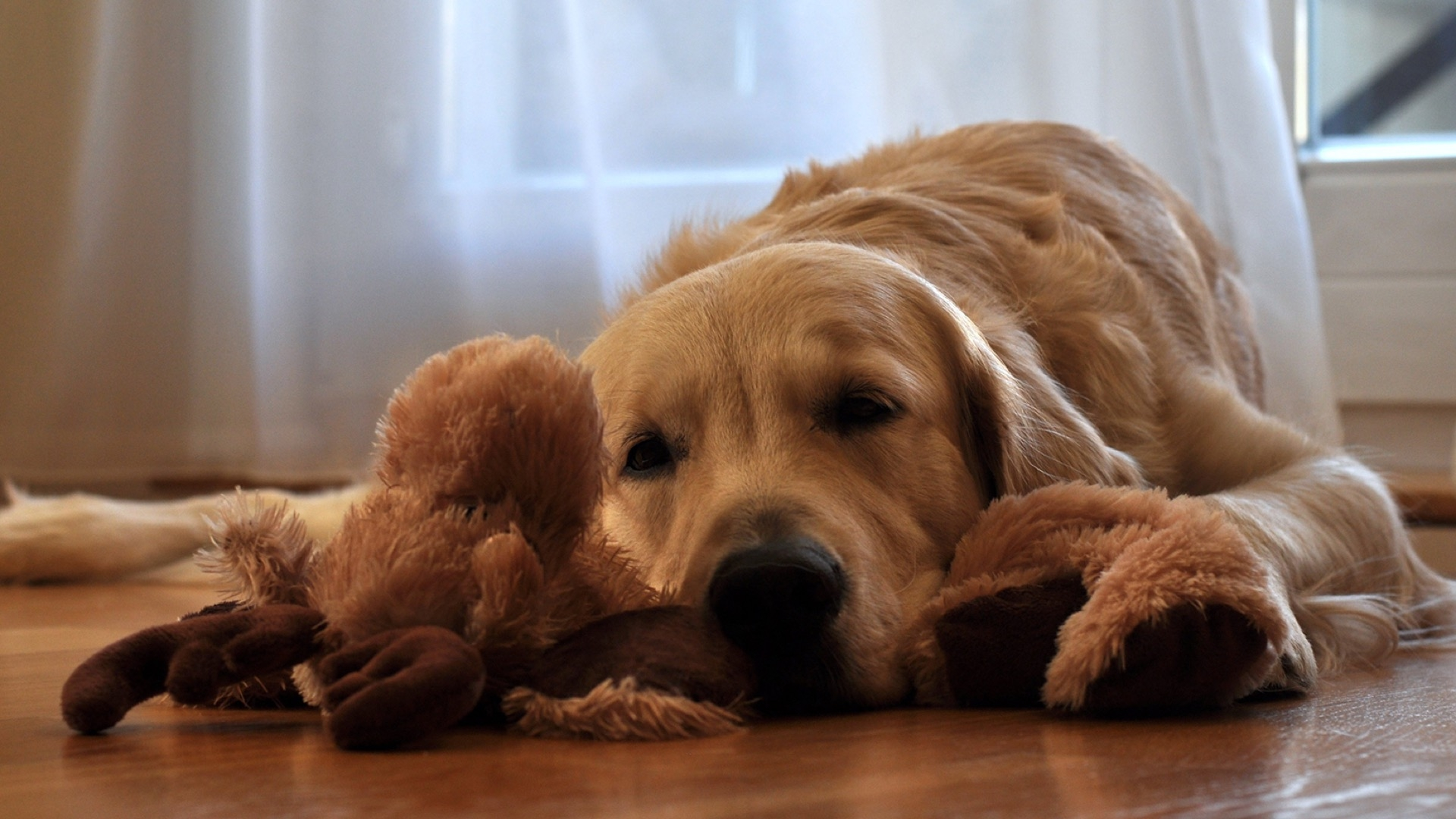 golden retriever waiting to play