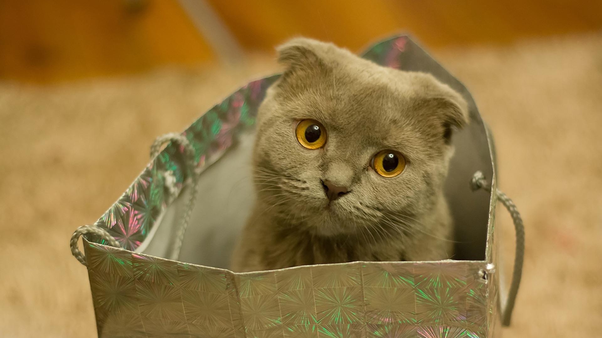 gray kitten in gift bag