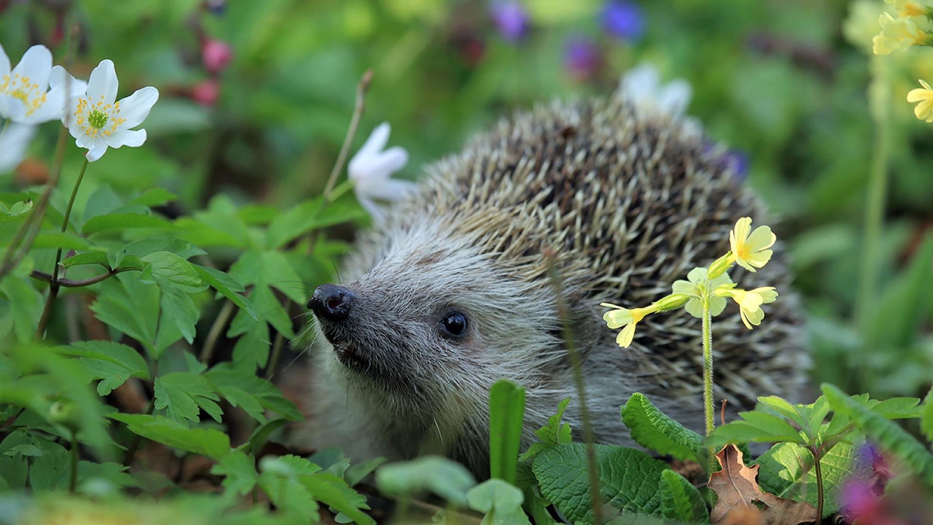 hedgehog among flowers