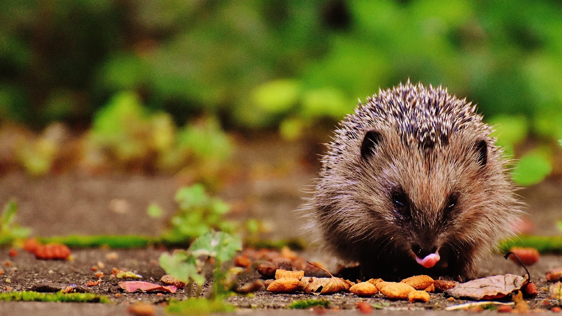 hedgehog licking its lips