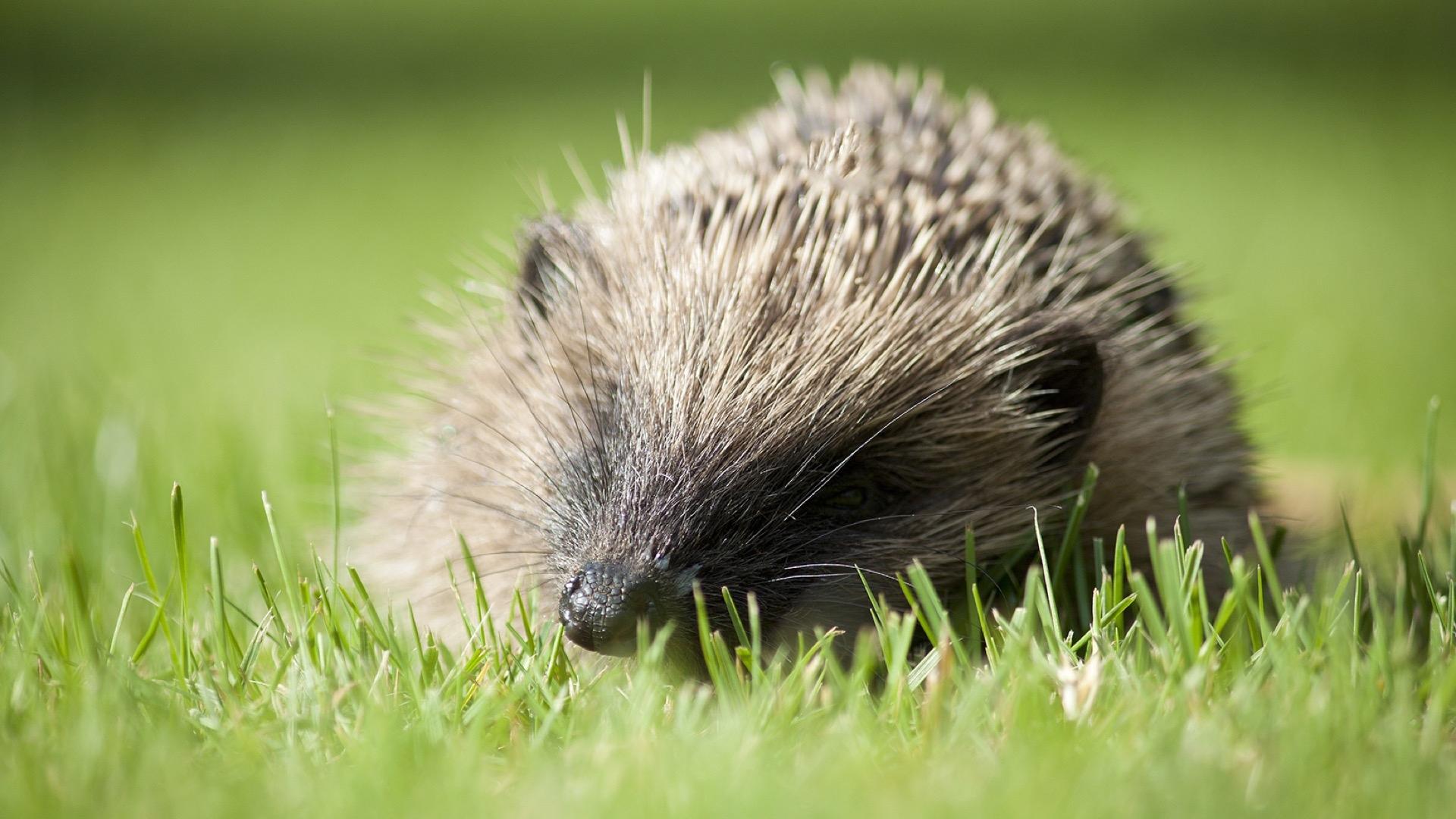 hedgehog number 2