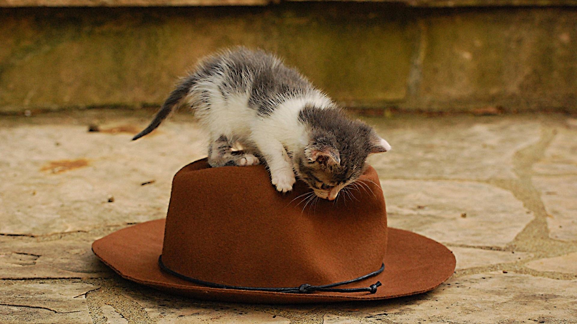 kitten on hat