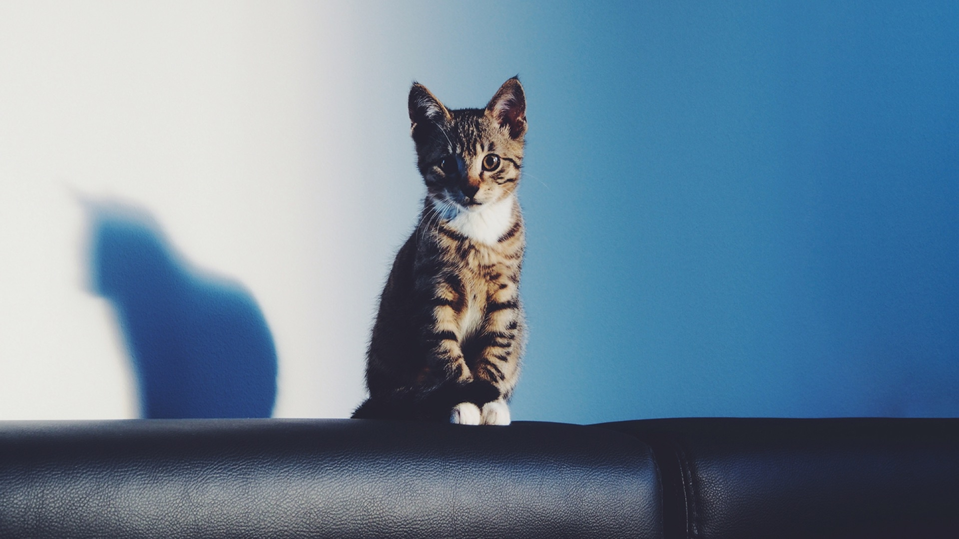 kitten with shadow