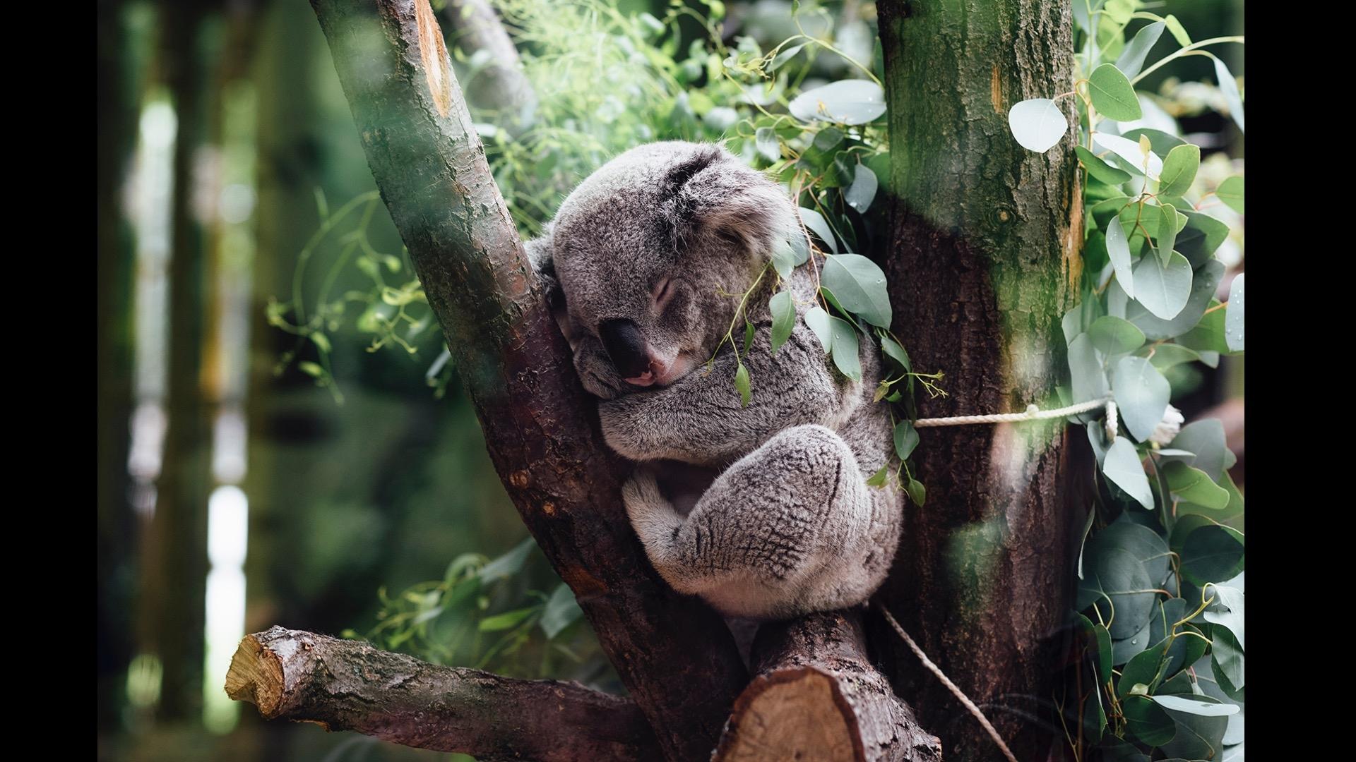 koala sleeping number 2