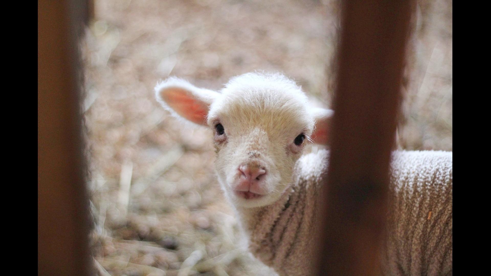 lamb behind bars