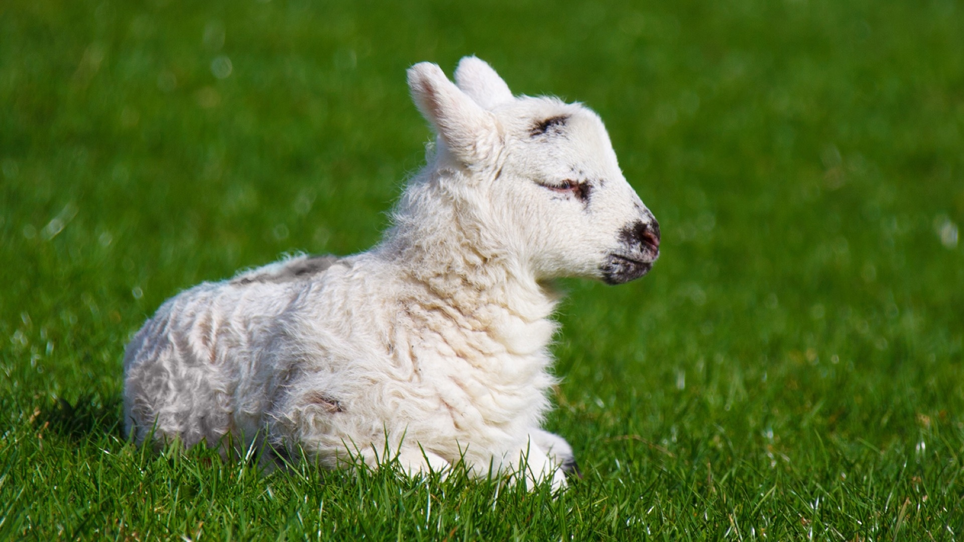 lamb laying on ground
