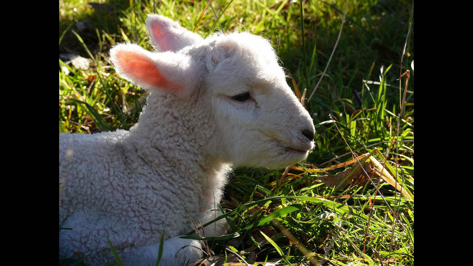 lamb lying down