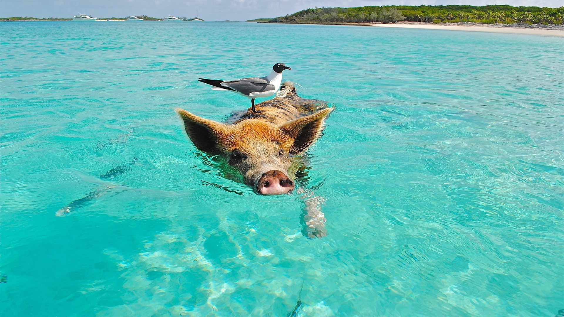 pig and bird swimming