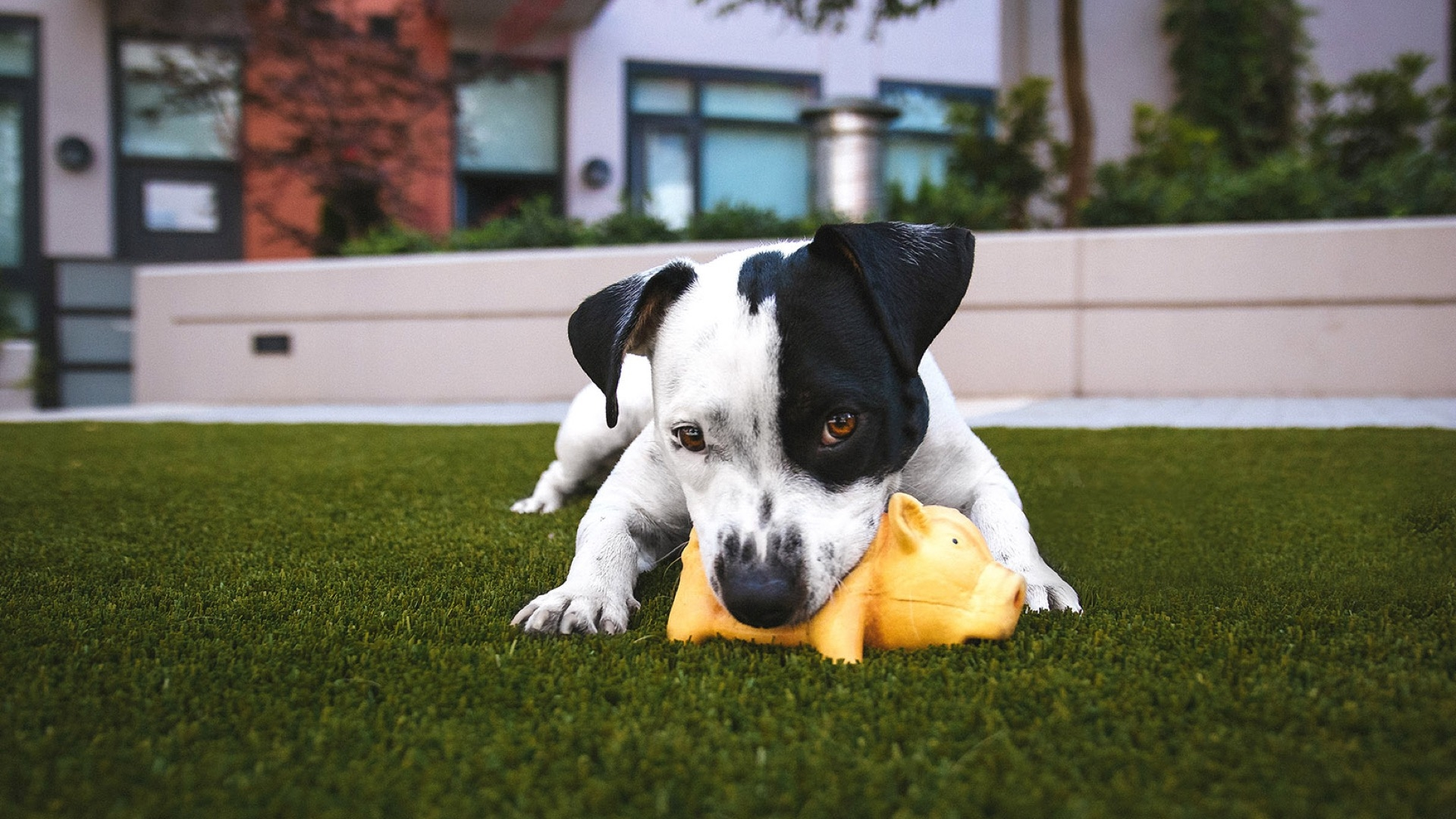 puppy chewing on a toy pig