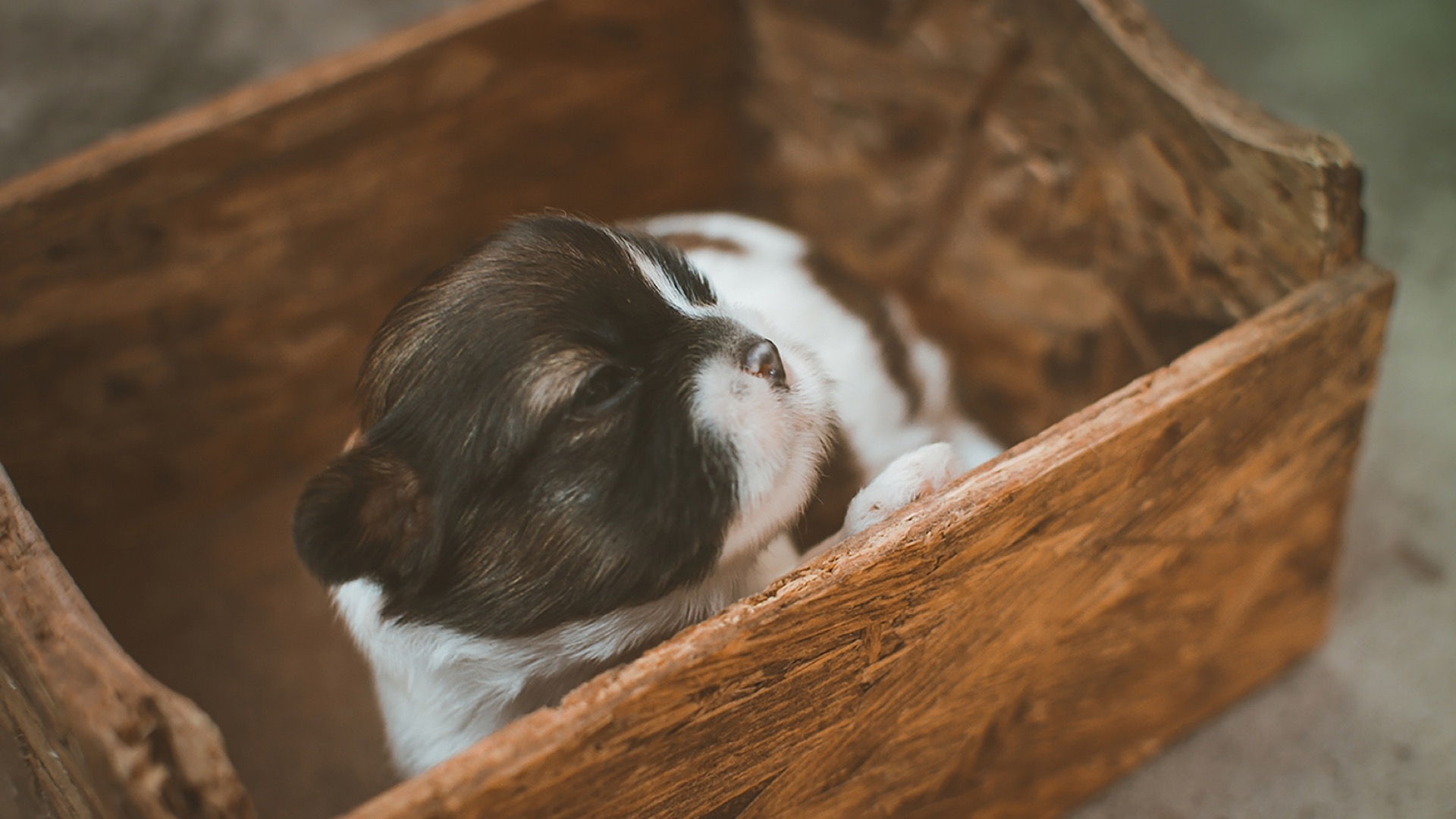 puppy in wood box