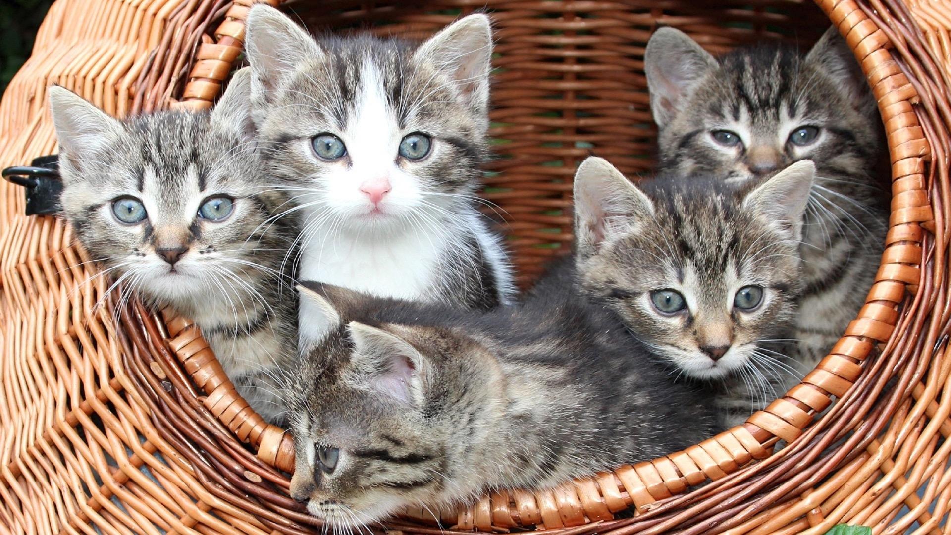 5 kittens in basket