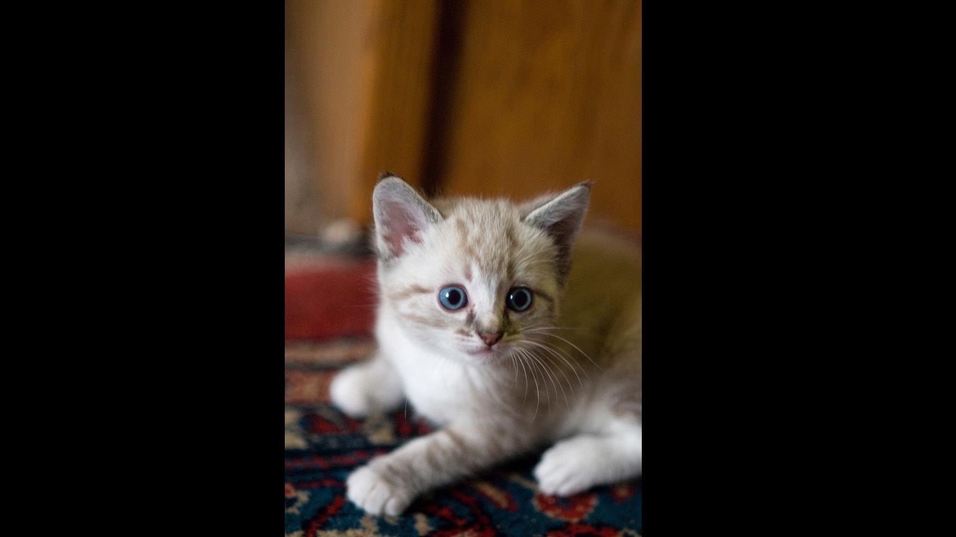 tan kitten with blue eyes