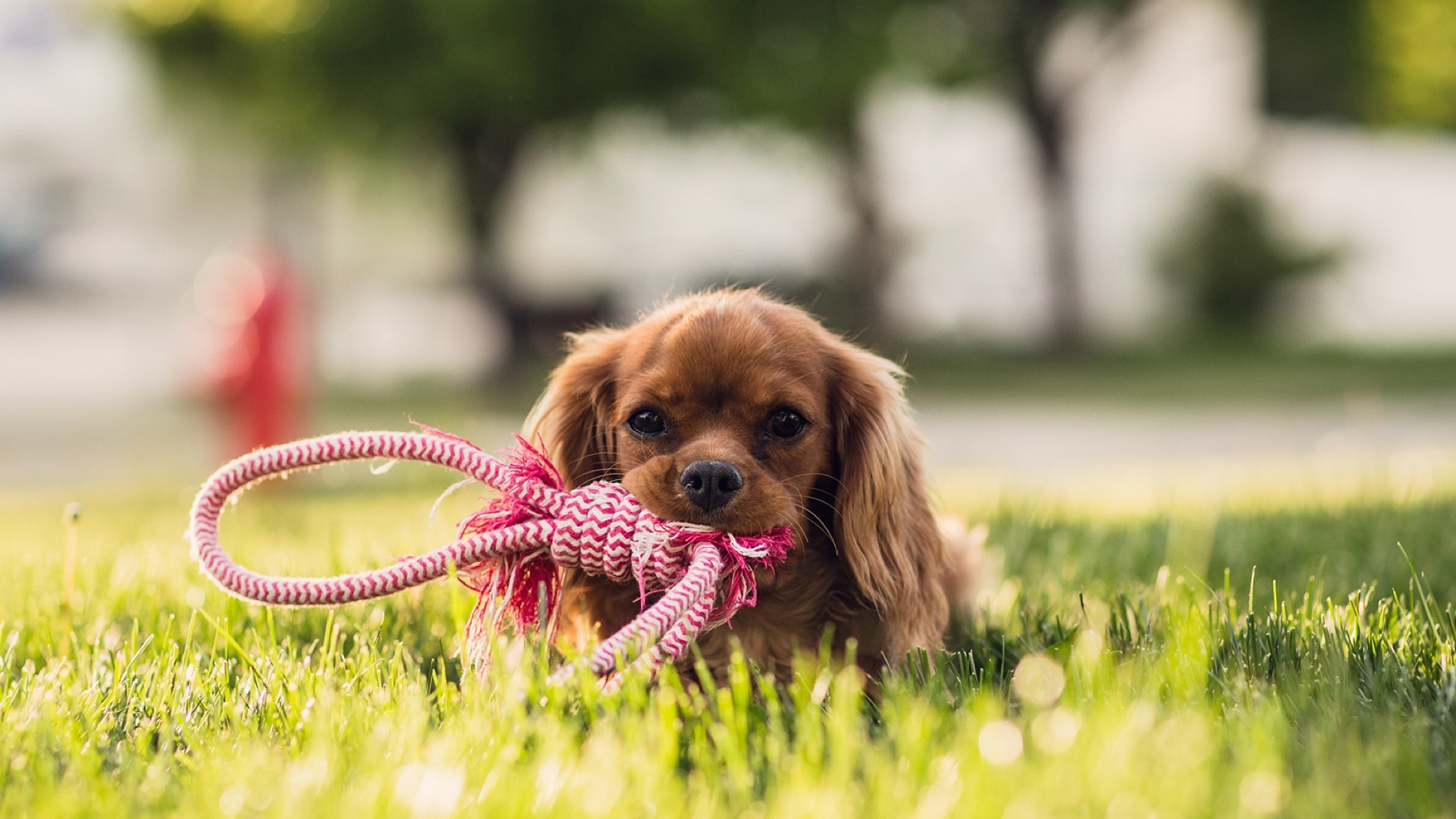 spaniel playing with rope toy