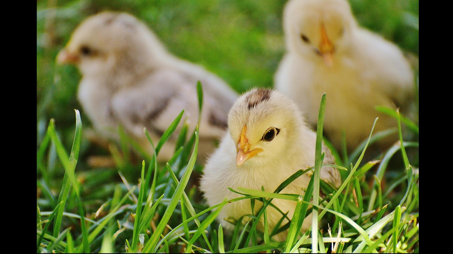three yellow baby chicks