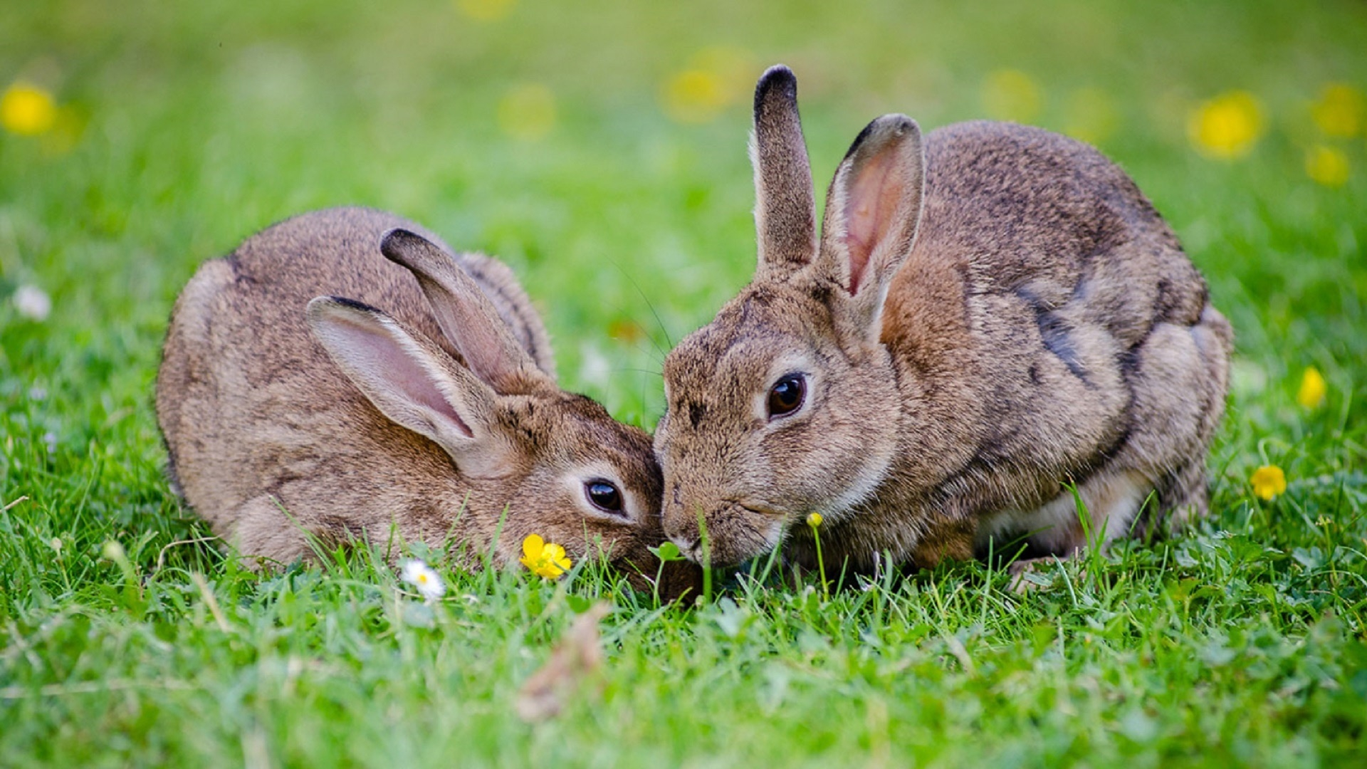 two bunnies nuzzling
