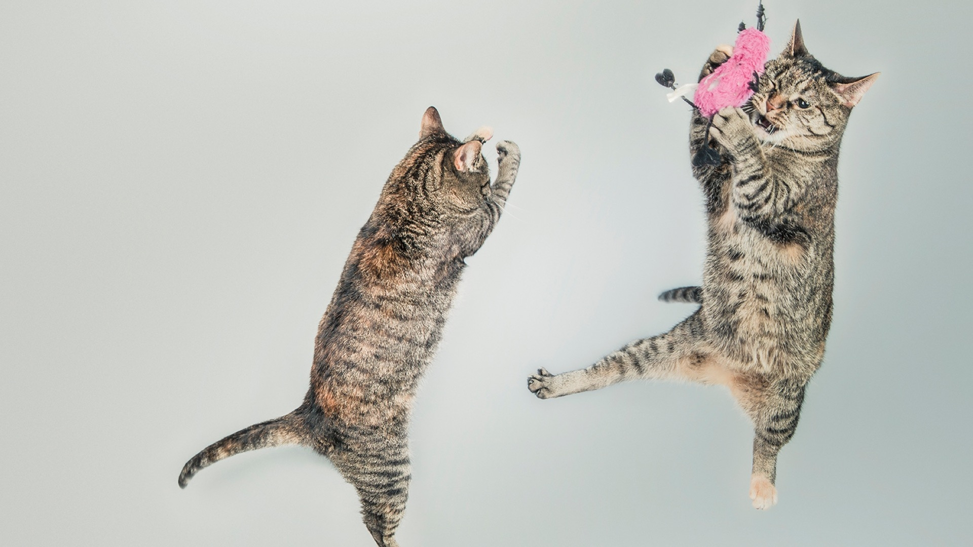 two cats playing with toy