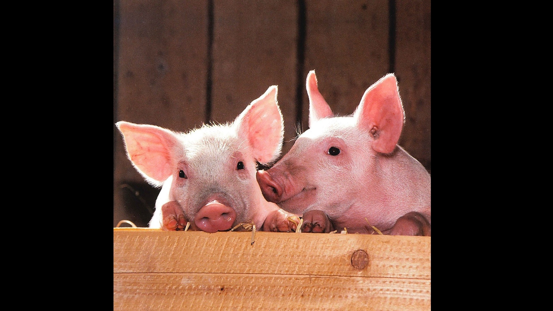 two pink pigs