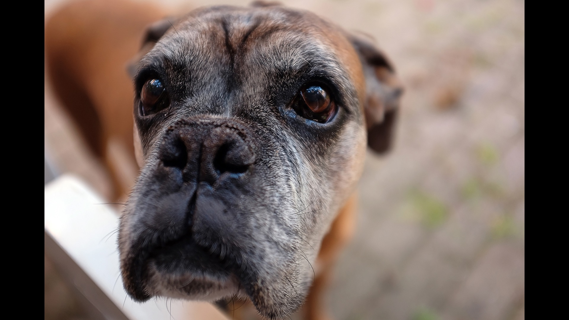 up close of boxer