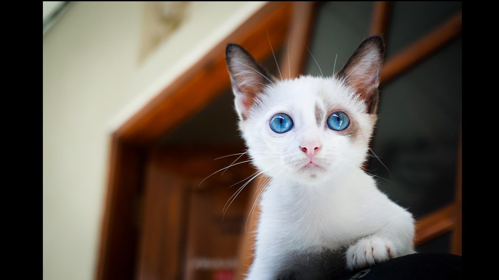 white kitten with blue eyes
