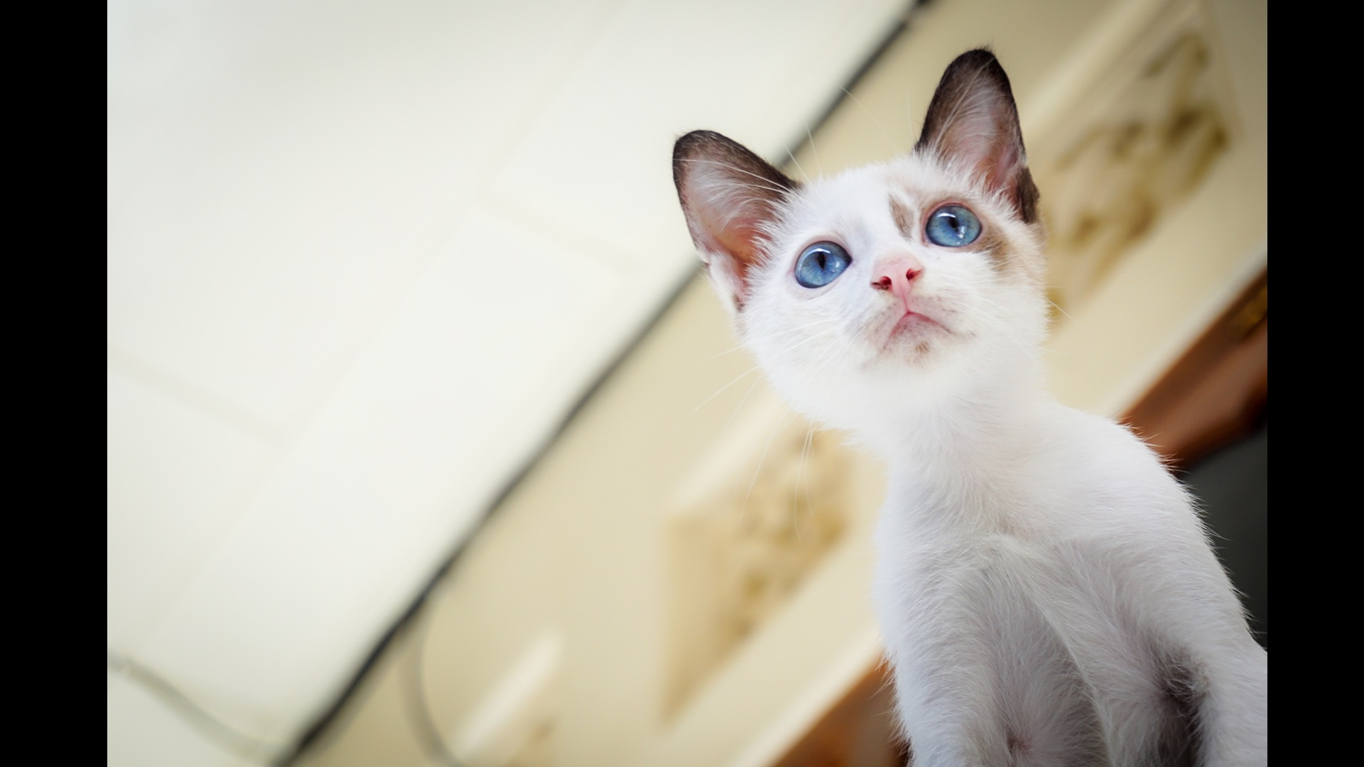 white kitten with blue eyes number 2