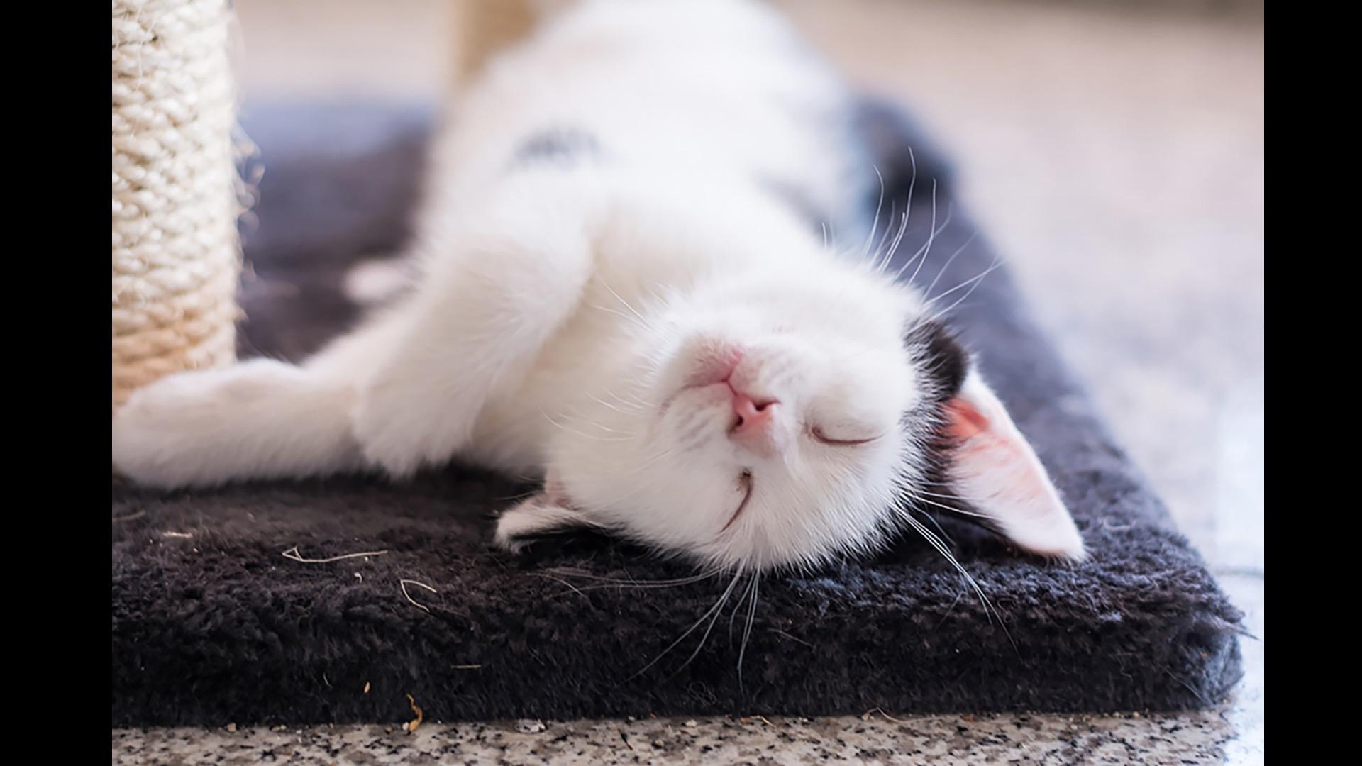 white kitten with cat scratcher