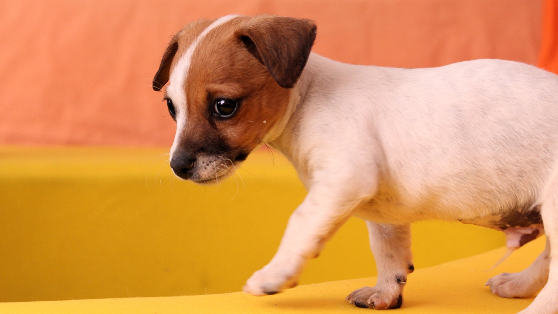white puppy with red head
