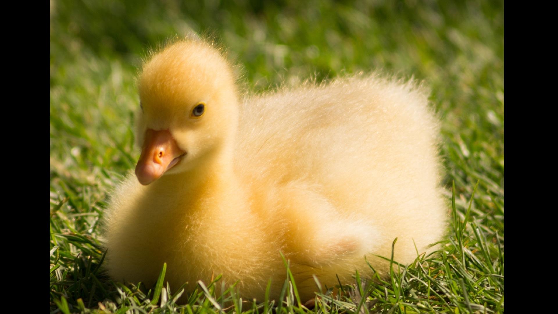 yellow duckie